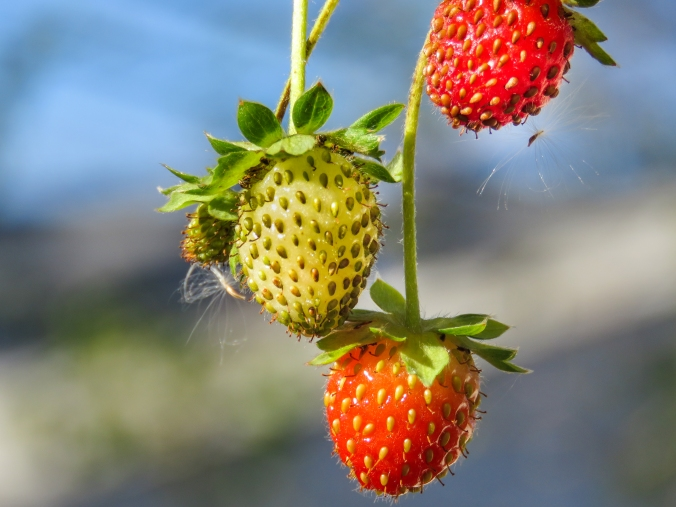 Strawberries_stocksnap.io