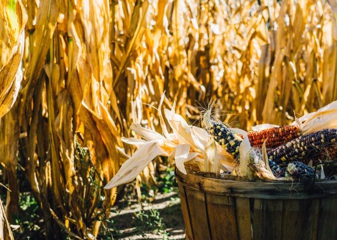 Corn_stocksnap.io